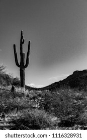 Sequaro in the Sonora Desert
