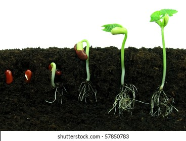Sequence of bean seeds germination in soil
