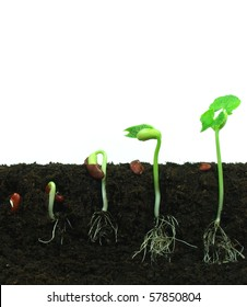 Sequence of beans germination