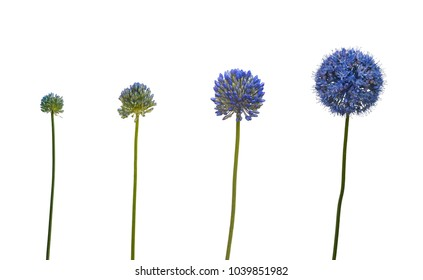 The sequence of blooming blue Allium caesium  on a white background  isolated