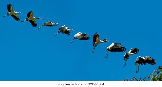 Sequence of Wood Stork in flight landing