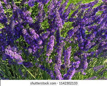 Sequim, Washington, USA: Lavender Festival
