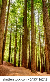 Sequoia Forest in Monte Cabezon, Cantabria, Spain