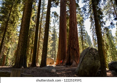Sequoia National Park, California - August 9, 2016 : People hiking in Sequoia National Park under the huge sequoia trees
