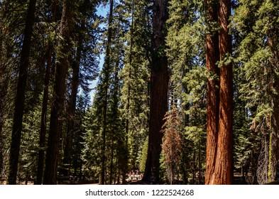 Sequoia National Park, California - August 9, 2016 : Sunshine in Sequoia National Park wide angle image