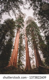Sequoia National Park Gian Trees Big Forest Tall Oaks Autumn Fall Nature Outdoor Activities USA California Sierra Nevada Fog moody trees redwoods