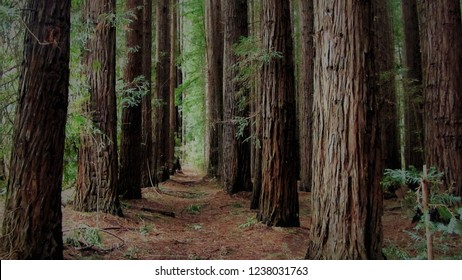 Sequoia or Redwood trees, dark and foreboding in a plantation near Warburton, Victoria, Australia.