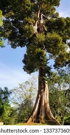 Sequoia tree in garden