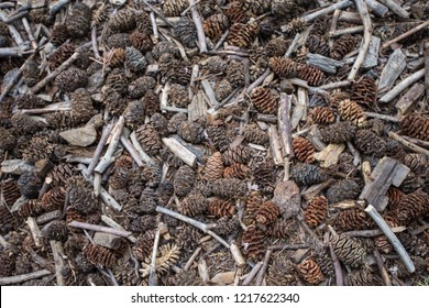 Sequoia tree pine cones and twigs on the forest floor in Sequoia National Park California