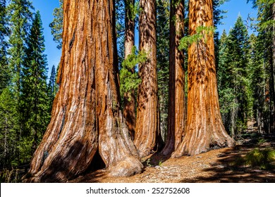 Sequoia trees, The Bachelor and Three Graces, Mariposa Grove, Yosemite