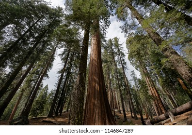 Sequoia trees forest in the General Grant Grove section of Kings Canyon National Park in the southern Sierra Nevada, in Fresno and Tulare Counties, California