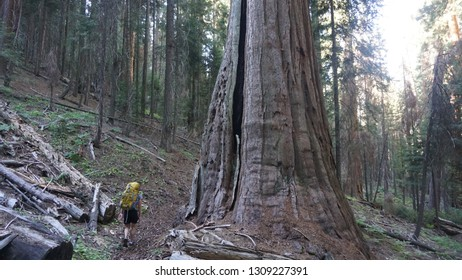 Sequoia trees in Kings and Sequoia National Park