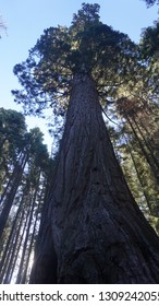 Sequoia trees at Kings and Sequoia National Park