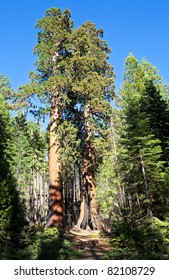 Sequoia Trees, the largest living thing on earth.