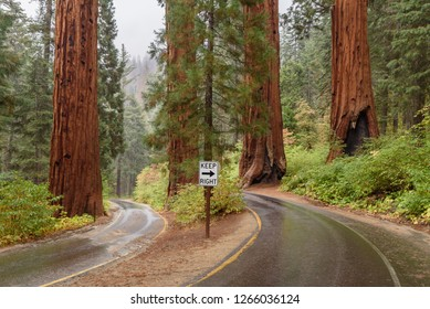 Sequoia trees in Sequoia National Park, California, USA
