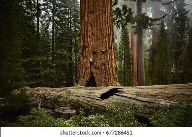 Sequoia Trees in Sequoia National Park in California