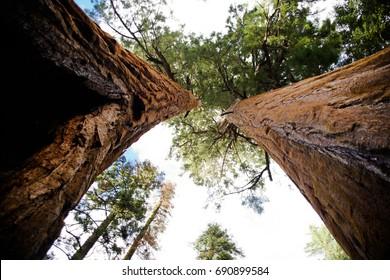 Sequoia Trees, Sequoia National Park, California 2017