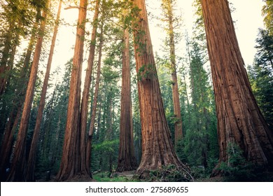 Sequoia Trees Rising to the Sky, Sequoia National Park, California