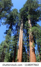 sequoia trees standing tall against a blue sky