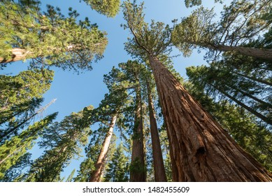 Sequoia Trees Towering Into The Sky