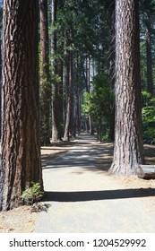 Sequoia trees in Yosemite Valley, California.