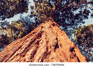 Sequoiadendron giganteum (Giant sequoia, Giant redwood, Sierra redwood, Sierran redwood, or Wellingtonia) is the sole living species in genus Sequoiadendron. Sunset natural scene. Red photo filter.