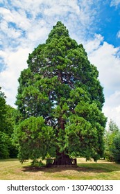 Sequoiadendron giganteum sequioa tree growing in Chabane, Czech Republic