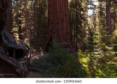 Sequoias, Giant Sequoias, Sequoia National Forest