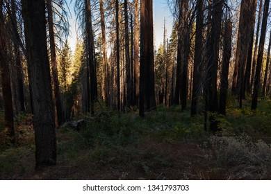 Sequoias,  Tuolumne Grove of Giant Sequoias