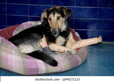 SERBIA, BELGRADE - JANUARY 02, 2006: Mila female dog was found on the streets of Belgrade after her unknown perpetrator cut off all four paws. She survived and successfully recovered now.