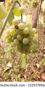 Serbia, Trbusnica - Oct 12, 2019: white grapes hang on the vine