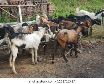 Seremban, 22/8/2018 : Unidentified malay Muslims help each other in slaughtering cows during Eid Al-Adha Al Mubarak, the Feast of Sacrifice or Qurban