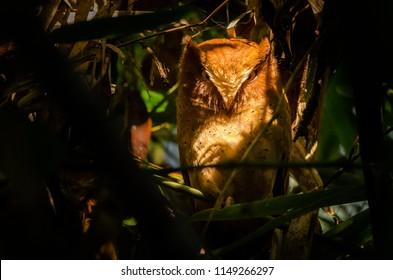 Serendib scops owl - Otus thilohoffmann