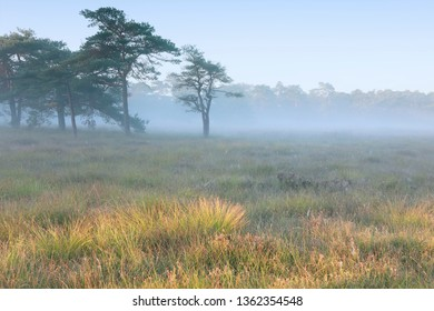 serene foggy morning on wild meadow with pine trees