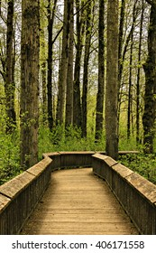 Serene forest boardwalk path among old growth.