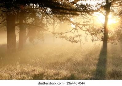 serene gold misty sunrise in coniferous woods