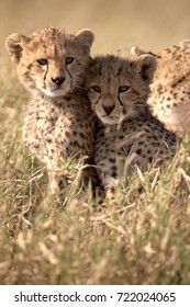 Serengeti Cheetah Cubs
