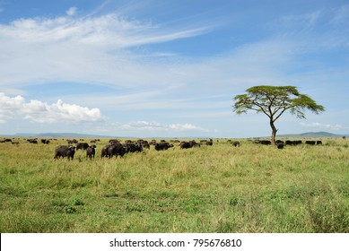 Serengeti landscape with herd of the wild buffalos and lonely acacia tree, Tanzania, Africa