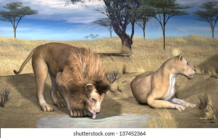 Serengeti Lions.  A lion drinks water as a nearby lioness relaxes in the Serengeti grasses.