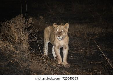 Serengeti National Park Lion