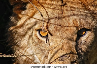 Serengeti Safari, Tanzania : A close-up front view of a male lion in the savannah plains of Serengeti with scar marks on its face.