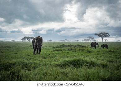 Serengeti, Tanzania - December 10 2019: Herd of elephants walking through the Serengeti, Tanzania in the rain.