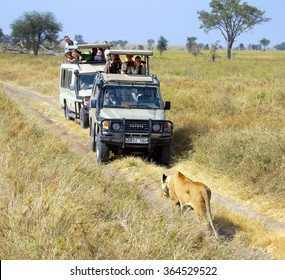 SERENGETI - TANZANIA ; Photographers and tourists are spotting a lion during a safari on a 4x4 Jeep through a National Park in Africa on june 12, 2013