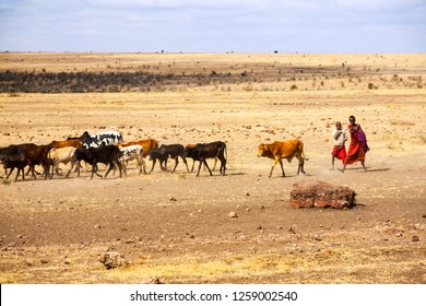 Serengeti Tanzania, September 2012: Cow cattle driven by Maasai children to drink water