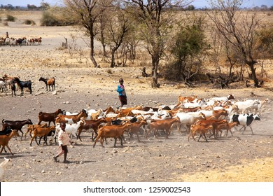 Serengeti Tanzania, September 2012: Goat cattle driven by Maasai children to drink water