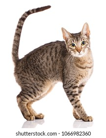Serengeti thoroughbred cat on a white background. Purebred cat. Well-groomed kitten. Pet, comfort and calm concept.