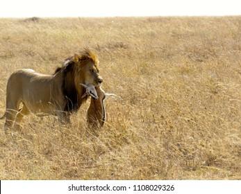 Serengeti/Tanzania - July 7 2017: Male lion with buck kill in mouth in Serengeti Tanzania during safari