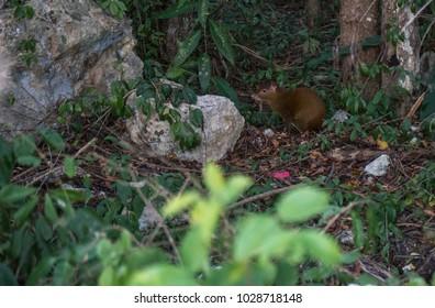 SEREQUE Mexican Rat, Yucatan, Mexico