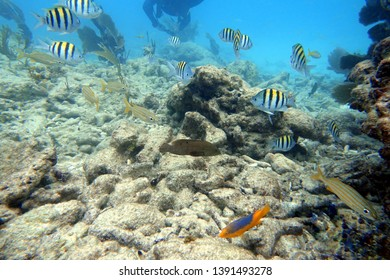 Sergeant major or píntano (Abudefduf saxatilis) is a species of damselfish.  They are known as the five finger and pilot fish, has stripes that represent the traditional insignia of the military rank.