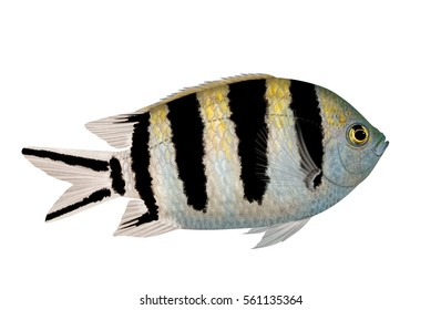 A Sergeant Major fish (Abudefduf saxatilis) illustrated by Steven Russell Smith isolated on a white background.